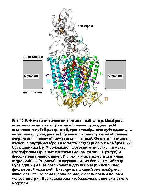 Рис. 12 -5. Фотосинтетический реакционный центр. Мембрана показана схематично. Трансмембранная субъединица М выделена голубой