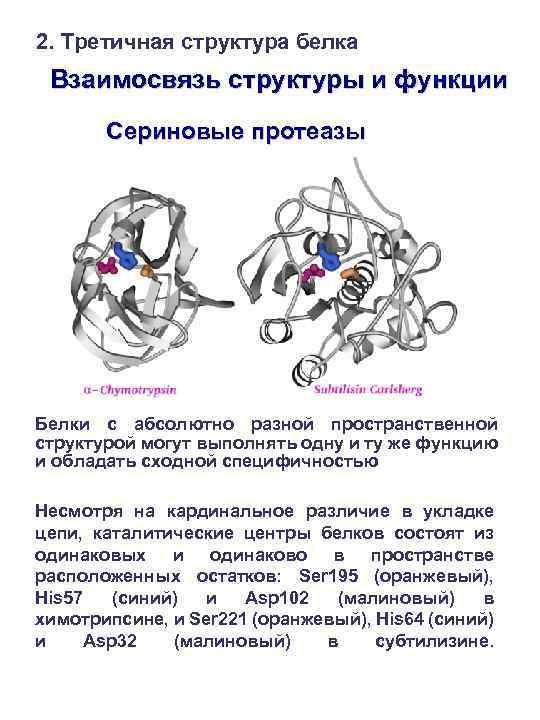 2. Третичная структура белка Взаимосвязь структуры и функции Сериновые протеазы Белки с абсолютно разной