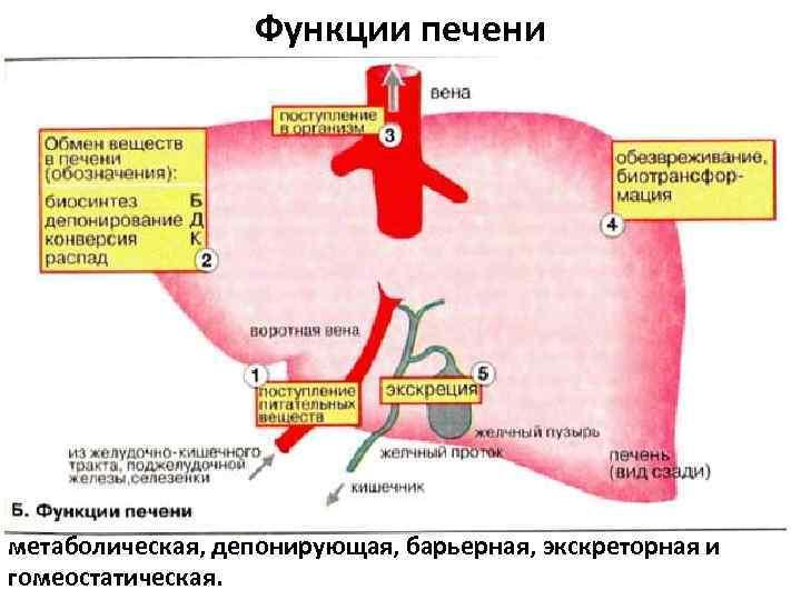 Функции печени метаболическая, депонирующая, барьерная, экскреторная и гомеостатическая.