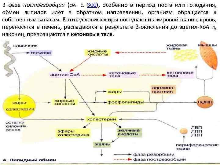В фазе пострезорбции (см. с. 300), особенно в период поста или голодания, обмен липидов