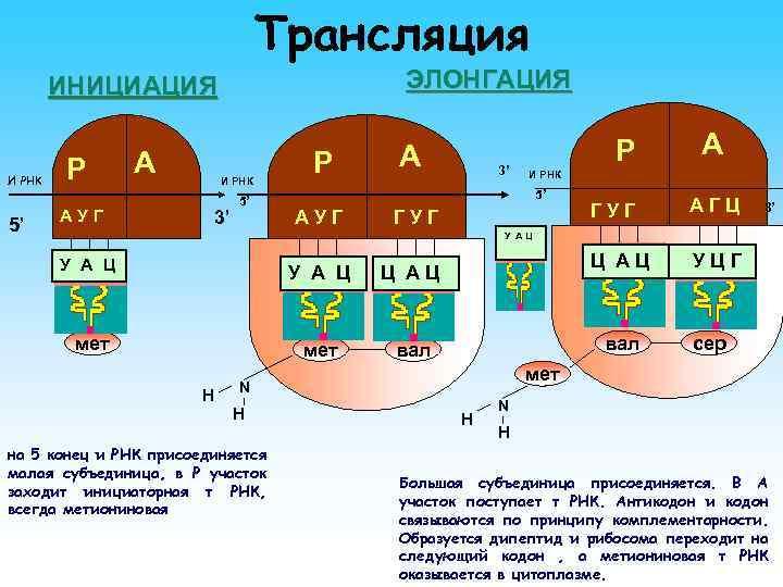 Трансляция ЭЛОНГАЦИЯ ИНИЦИАЦИЯ И РНК 5' Р АУГ А И РНК 3' 5' Р