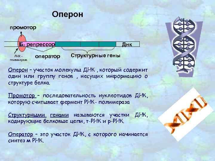 Оперон промотор Б- репрессор РНК полимераза оператор Днк Структурные гены Оперон – участок молекулы