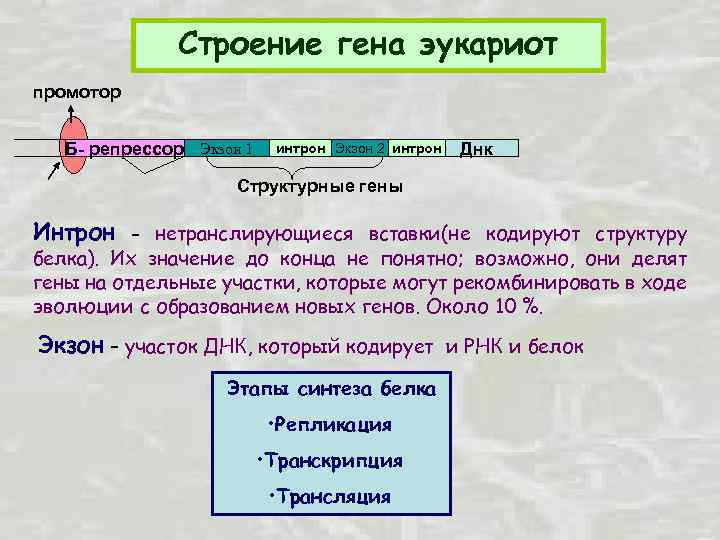 Строение гена эукариот промотор Б- репрессор Экзон 1 интрон Экзон 2 интрон Днк Структурные