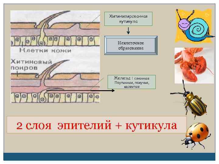 Хитинизированная кутикула Неклеточное образование Железы : слюнные Паутинные, пахучие, ядовитые 2 слоя эпителий +