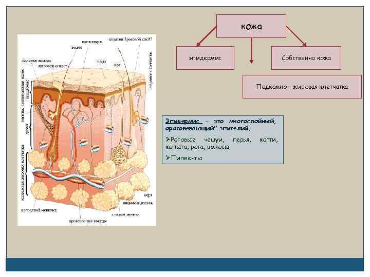 кожа эпидермис Собственно кожа Подкожно – жировая клетчатка Эпидермис - это многослойный, ороговевающий
