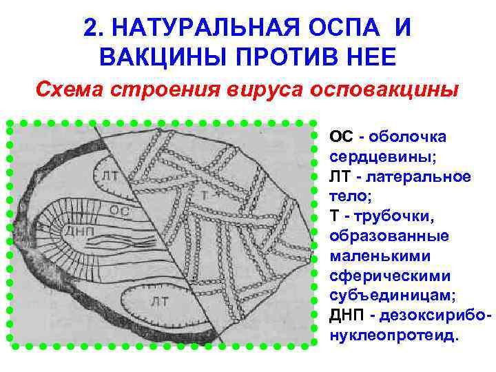 2. НАТУРАЛЬНАЯ ОСПА И ВАКЦИНЫ ПРОТИВ НЕЕ Схема строения вируса осповакцины ОС - оболочка