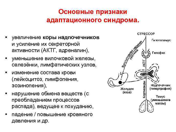 Основные признаки адаптационного синдрома. • увеличение коры надпочечников и усиление их секреторной активности (АКТГ,