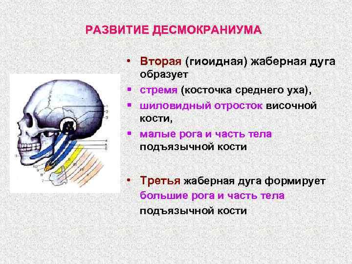 РАЗВИТИЕ ДЕСМОКРАНИУМА • Вторая (гиоидная) жаберная дуга образует § стремя (косточка среднего уха), §