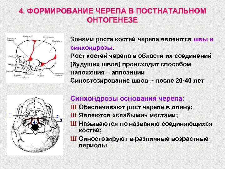 4. ФОРМИРОВАНИЕ ЧЕРЕПА В ПОСТНАТАЛЬНОМ ОНТОГЕНЕЗЕ Зонами роста костей черепа являются швы и синхондрозы.