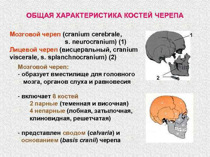 ОБЩАЯ ХАРАКТЕРИСТИКА КОСТЕЙ ЧЕРЕПА Мозговой череп (cranium cerebrale, s. neurocranium) (1) Лицевой череп (висцеральный,