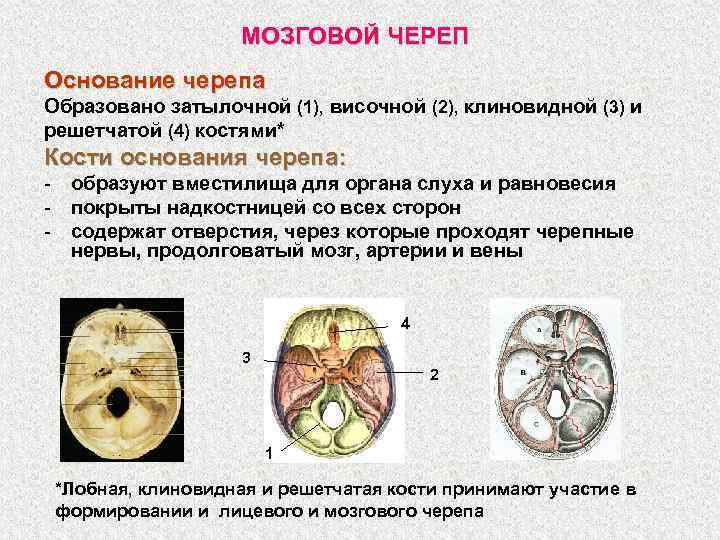 МОЗГОВОЙ ЧЕРЕП Основание черепа Образовано затылочной (1), височной (2), клиновидной (3) и решетчатой (4)