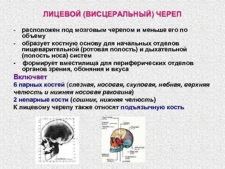 ЛИЦЕВОЙ (ВИСЦЕРАЛЬНЫЙ) ЧЕРЕП - расположен под мозговым черепом и меньше его по объему -
