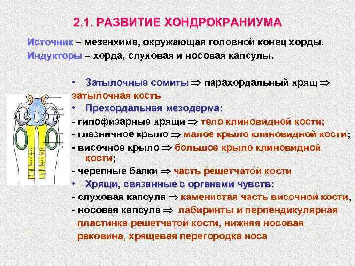 2. 1. РАЗВИТИЕ ХОНДРОКРАНИУМА Источник – мезенхима, окружающая головной конец хорды. Индукторы – хорда,