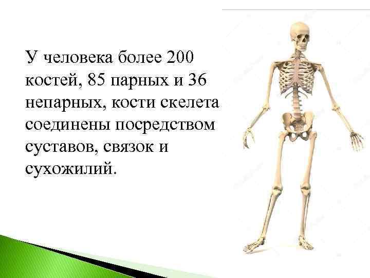 У человека более 200 костей, 85 парных и 36 непарных, кости скелета соединены посредством