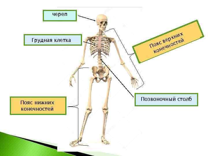 череп Грудная клетка Пояс нижних конечностей х хни ер с в остей я По