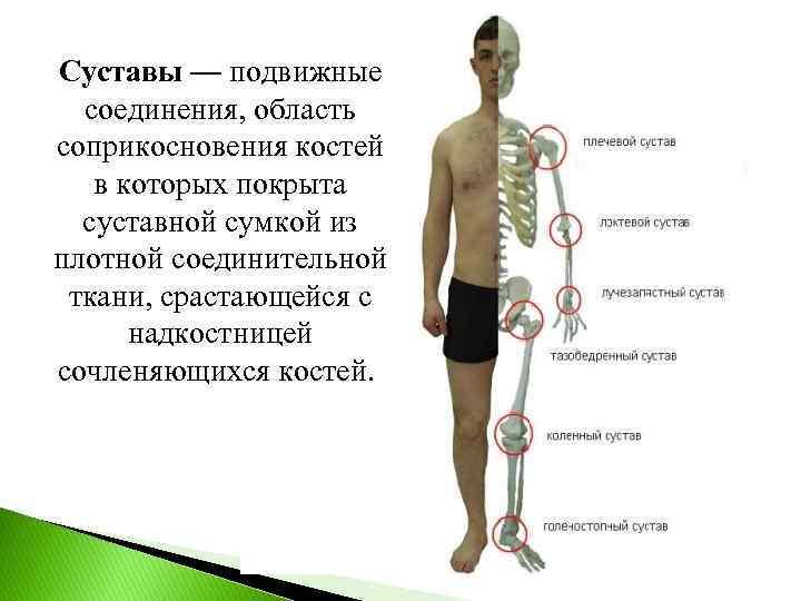 Суставы — подвижные соединения, область соприкосновения костей в которых покрыта суставной сумкой из плотной