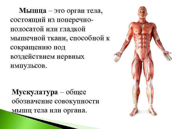 Мышца – это орган тела, состоящий из поперечнополосатой или гладкой мышечной ткани, способной к