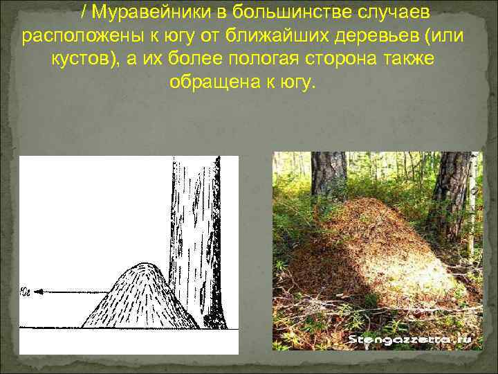 / Муравейники в большинстве случаев расположены к югу от ближайших деревьев (или кустов), а