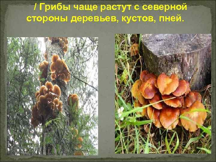 / Грибы чаще растут с северной стороны деревьев, кустов, пней.