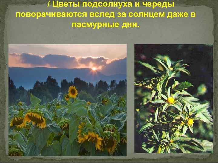 / Цветы подсолнуха и череды поворачиваются вслед за солнцем даже в пасмурные дни.