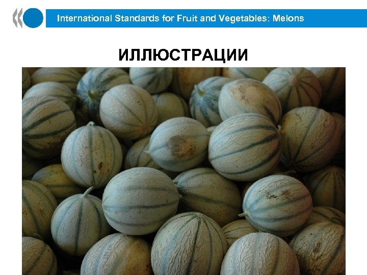 International Standards for Fruit and Vegetables: Melons ИЛЛЮСТРАЦИИ 43