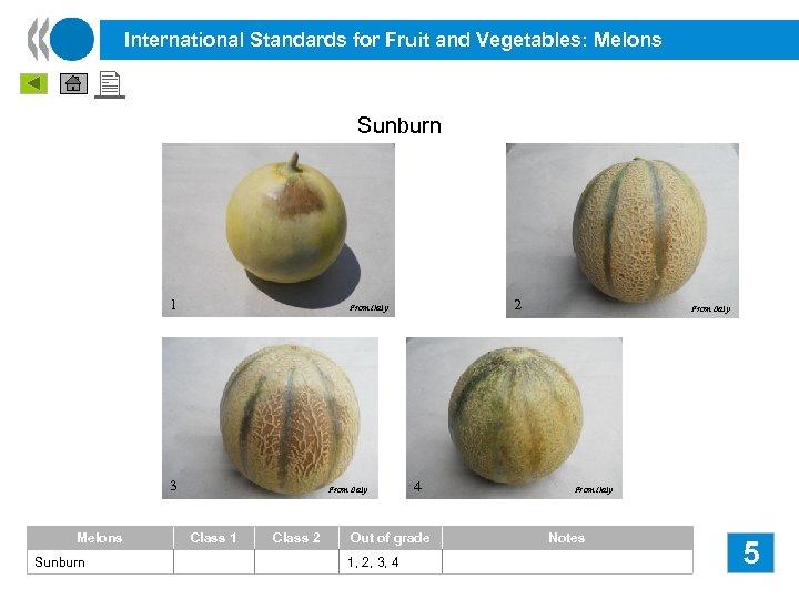 International Standards for Fruit and Vegetables: Melons Sunburn 1 3 Melons Sunburn 2 From