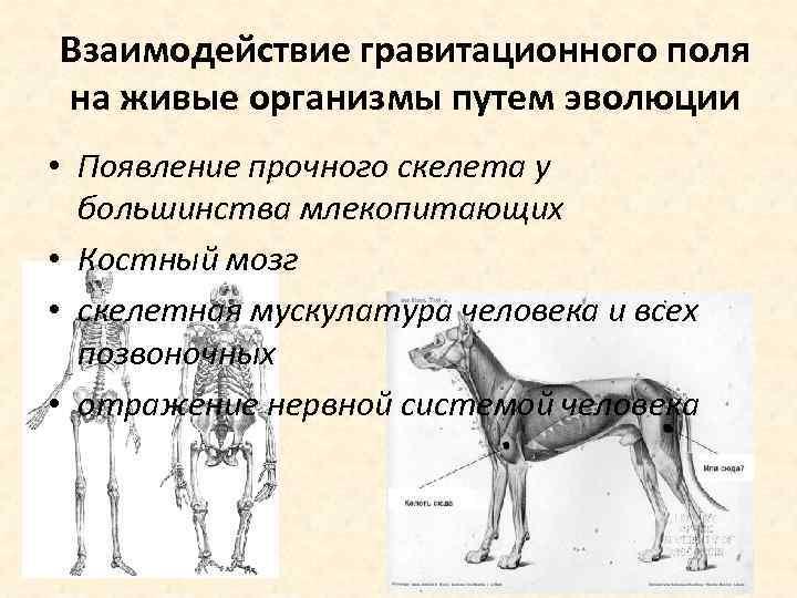 Взаимодействие гравитационного поля на живые организмы путем эволюции • Появление прочного скелета у большинства