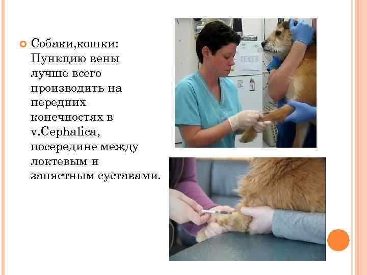 Собаки, кошки: Пункцию вены лучше всего производить на передних конечностях в v. Cephalica,