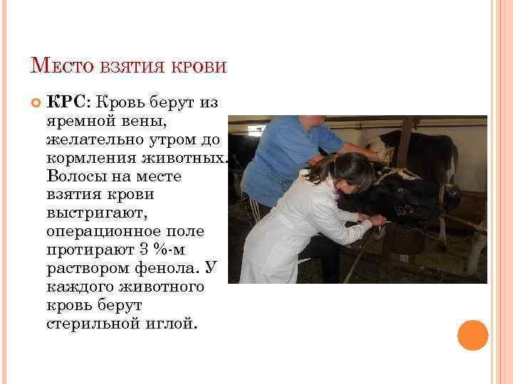 МЕСТО ВЗЯТИЯ КРОВИ КРС: Кровь берут из яремной вены, желательно утром до кормления животных.