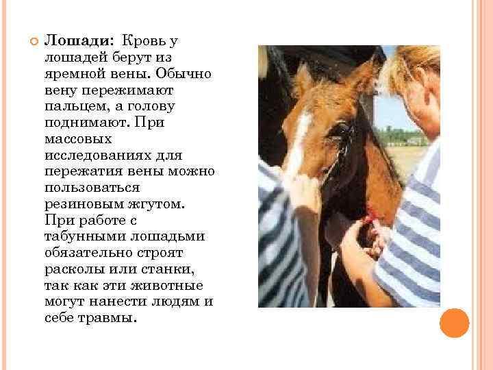 Лошади: Кровь у лошадей берут из яремной вены. Обычно вену пережимают пальцем, а