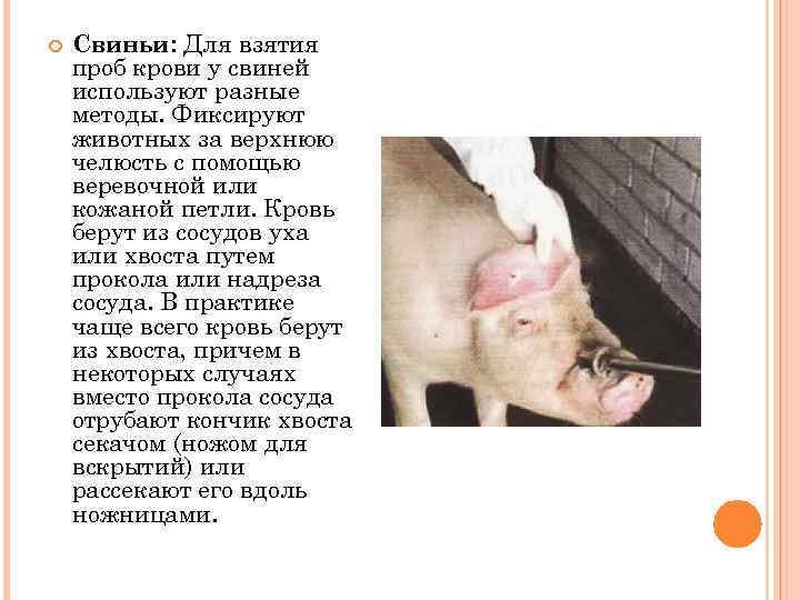 Свиньи: Для взятия проб крови у свиней используют разные методы. Фиксируют животных за