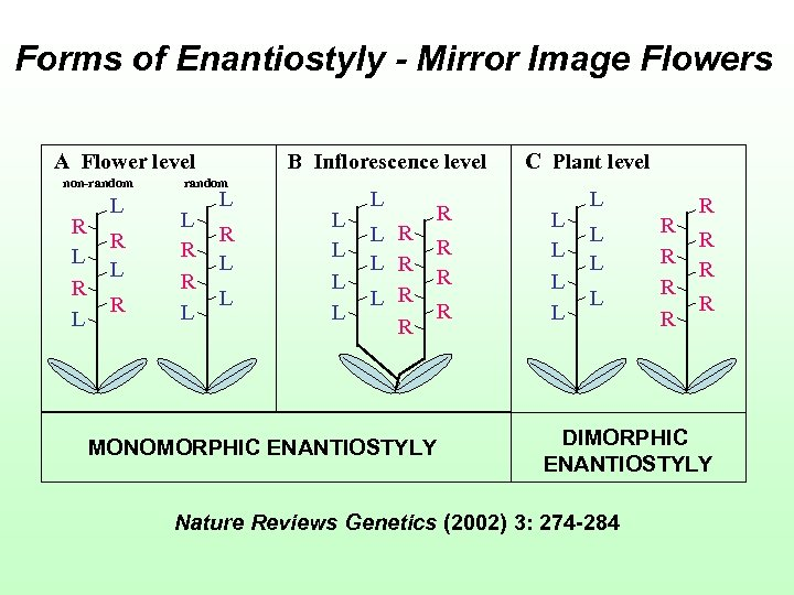 Forms of Enantiostyly - Mirror Image Flowers A Flower level non-random R L L
