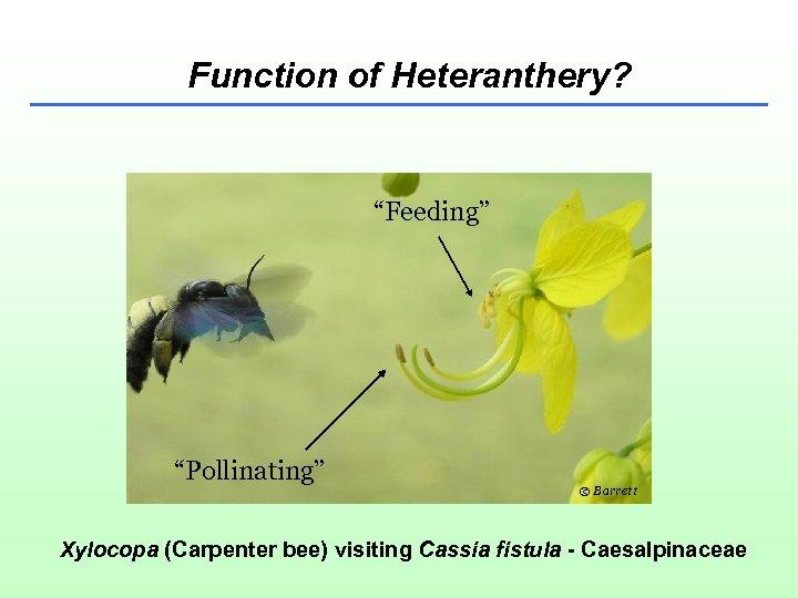 "Function of Heteranthery? ""Feeding"" ""Pollinating"" © Barrett Xylocopa (Carpenter bee) visiting Cassia fistula -"