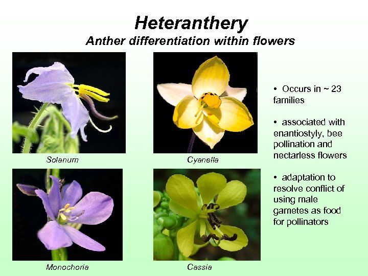 Heteranthery Anther differentiation within flowers • Occurs in ~ 23 families Solanum Cyanella •