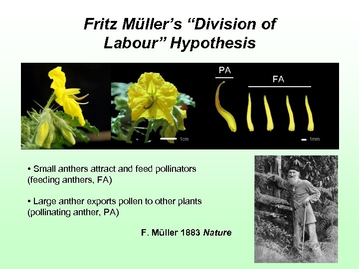 """Fritz Müller's """"Division of Labour"""" Hypothesis PA • Small anthers attract and feed pollinators"""