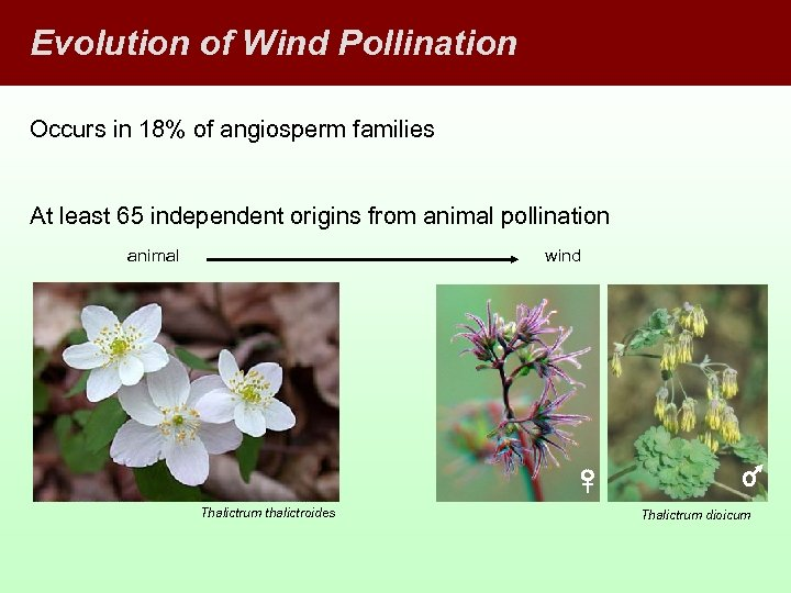 Evolution of Wind Pollination Occurs in 18% of angiosperm families At least 65 independent