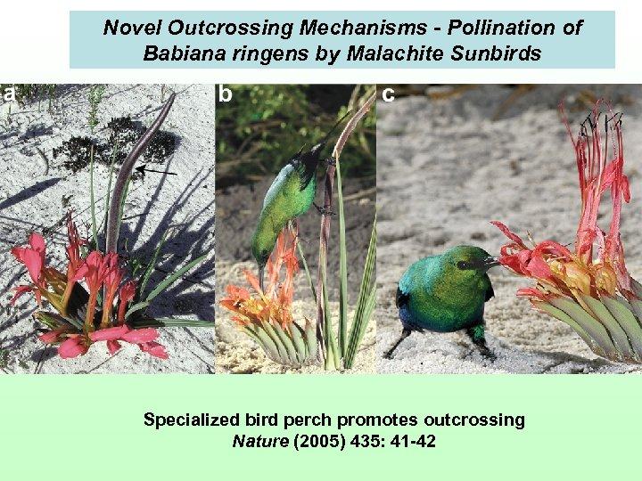 Novel Outcrossing Mechanisms - Pollination of Babiana ringens by Malachite Sunbirds Specialized bird perch
