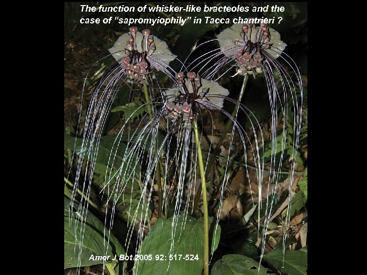 """The function of whisker-like bracteoles and the case of """"sapromyiophily"""" in Tacca chantrieri ?"""