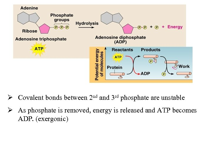 b. ATP Ø Covalent bonds between 2 nd and 3 rd phosphate are unstable