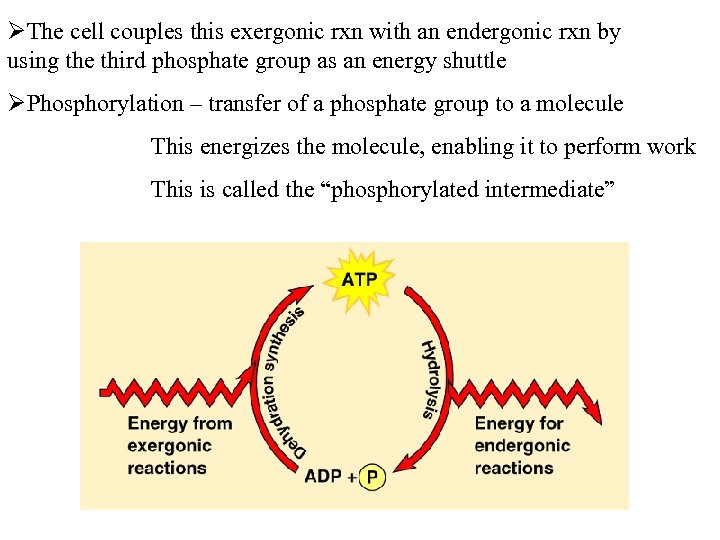 ØThe cell couples this exergonic rxn with an endergonic rxn by using the third