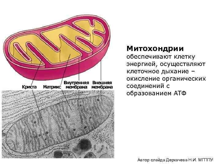 Митохондрии обеспечивают клетку энергией, осуществляют клеточное дыхание – окисление органических соединений с образованием АТФ