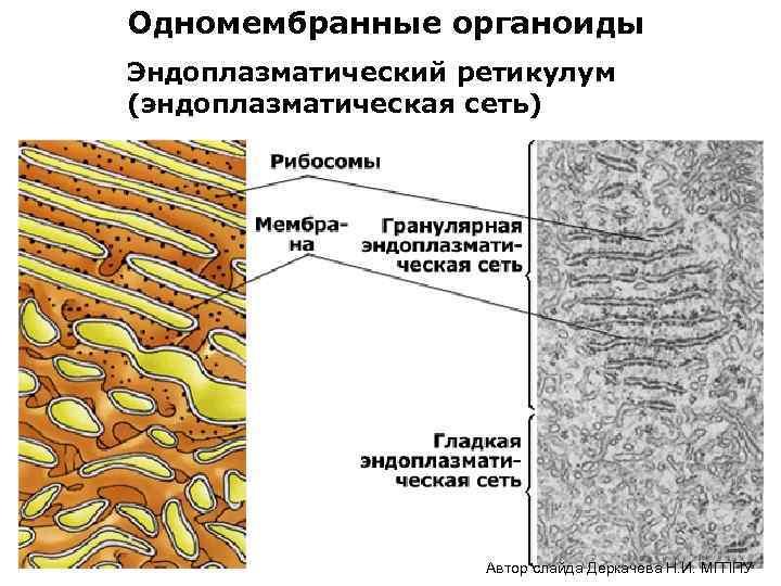 Одномембранные органоиды Эндоплазматический ретикулум (эндоплазматическая сеть) Автор слайда Деркачева Н. И. МГППУ