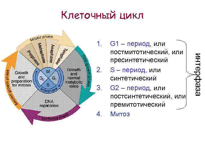 Клеточный цикл 1. 3. 4. интерфаза 2. G 1 – период, или постмитотический, или