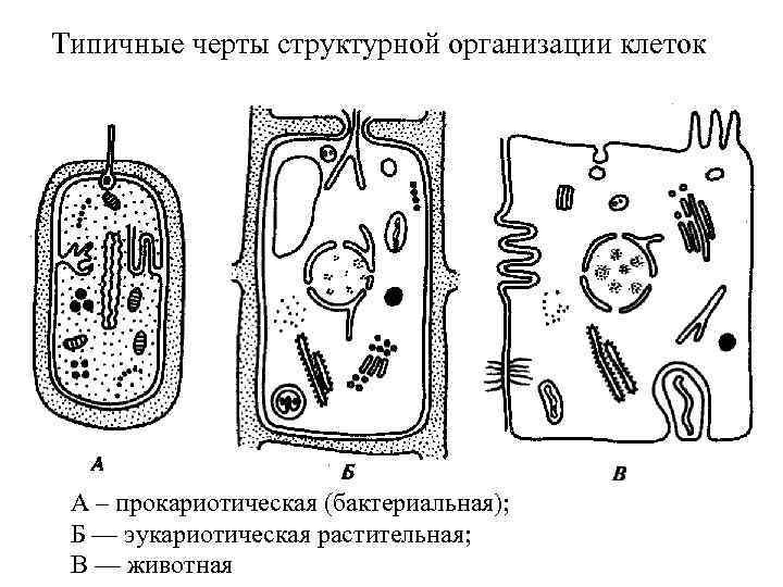 Типичные черты структурной организации клеток А – прокариотическая (бактериальная); Б — эукариотическая растительная; В