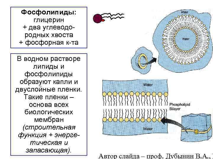 Фосфолипиды: глицерин + два углеводородных хвоста + фосфорная к-та В водном растворе липиды и
