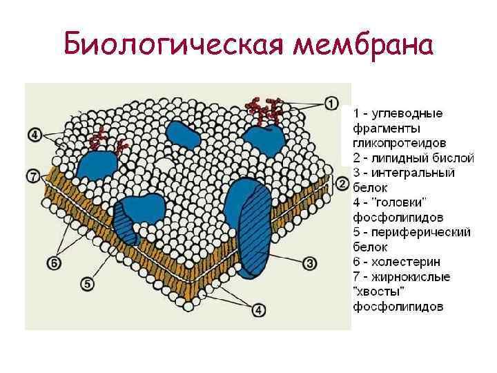Биологическая мембрана