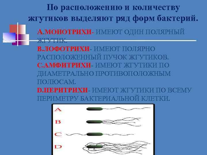 По расположению и количеству жгутиков выделяют ряд форм бактерий. А. МОНОТРИХИ- ИМЕЮТ ОДИН ПОЛЯРНЫЙ