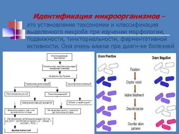 Идентификация микроорганизмов – это установление таксономии и классификация выделенного микроба при изучении морфологии, подвижности,