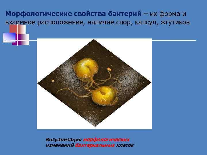 Морфологические свойства бактерий – их форма и взаимное расположение, наличие спор, капсул, жгутиков Визуализация