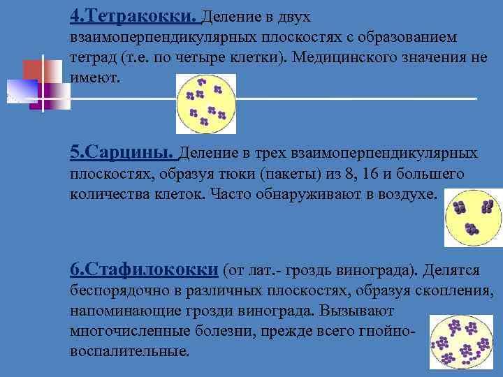 4. Тетракокки. Деление в двух взаимоперпендикулярных плоскостях с образованием тетрад (т. е. по четыре